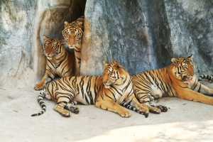 Four tigers resting at the bottom of a cliff