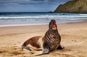 Wild seal on the beach, Cannibal Bay, New Zealand