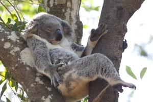 Koala relaxing in a tree, Queensland, Australia